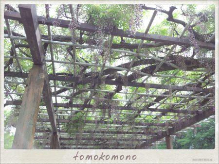 名古屋城藤棚