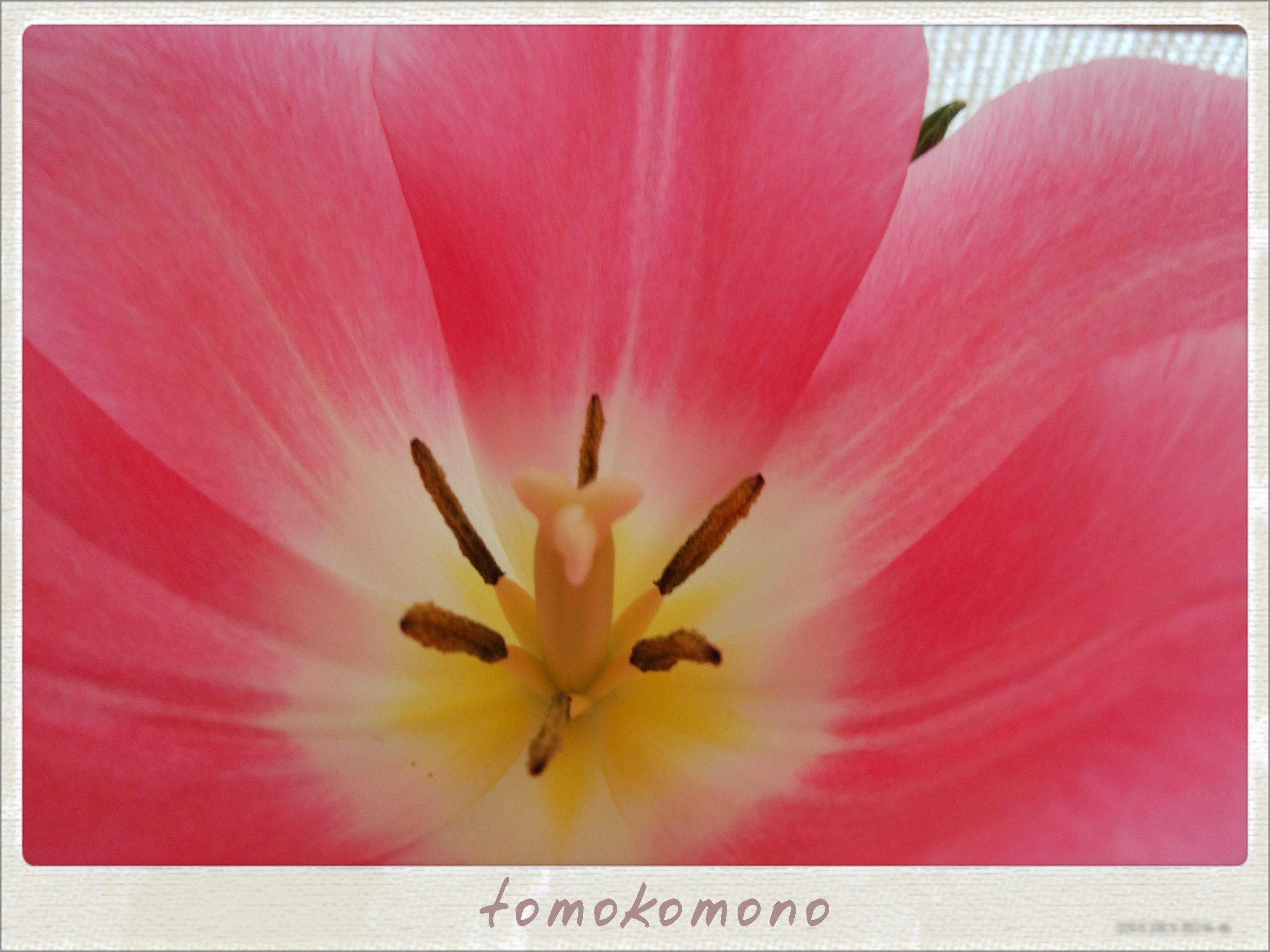 春を一足先に~チューリップが満開♡