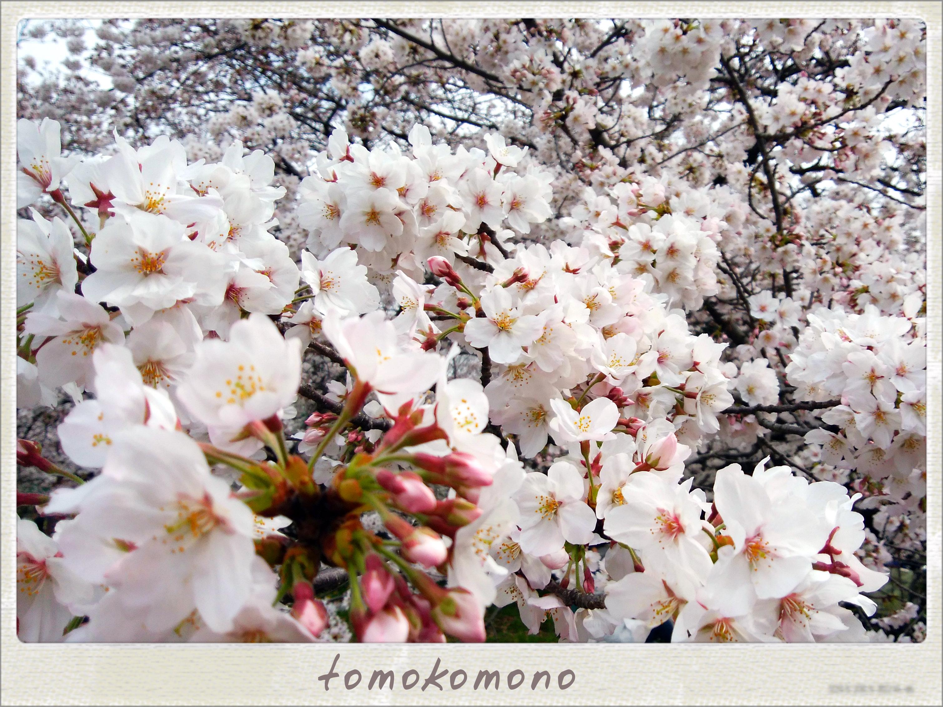 名古屋能楽堂の桜も見頃🌸