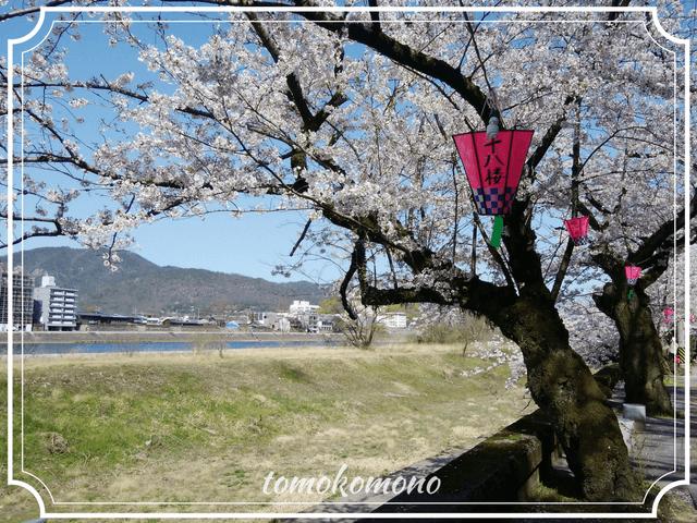 長良川沿いの桜