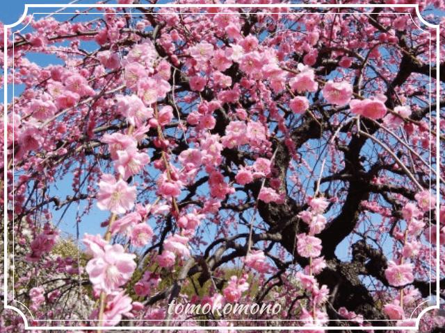 しだれ梅まつり2019開花状況の写真&イベント内容【名古屋市農業センター】